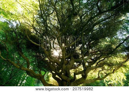 Large Tree Canopy, Sargent's Weeping Hemlock with sun peeking through