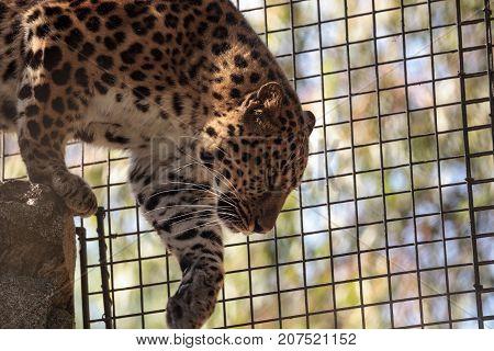 Amur Leopard Called Panthera Pardus Orientalis
