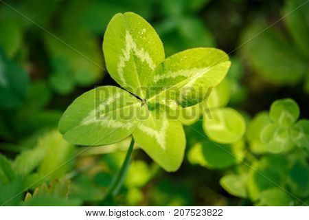 Four-leaf clover. A plant with 4 leaves. A symbol of luck, happiness, success, joy. Concept on the theme of St. Patrick's Day.
