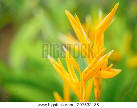 Soft focus beautiful Bird of Paradise flower (Strelitzia reginae) with green background.