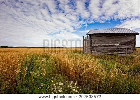 A little barn house stands in the middle of the oat fields on an autumn day in the Northern Finland.