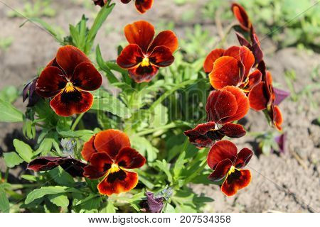 Red pansies (viola tricolor) in the garden