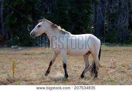 Pale Apricot Dun Buckskin wild horse stallion in the Pryor Mountains wild horse range in Montana United States