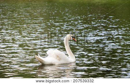White Swan Floating On The Lake