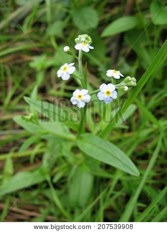 Meadow plant background: blue little flowers - forget-me-not close up and green grass. Color photo of flowers. Photo for backgrounds.