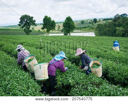 Workers picks tea despite ongoing labor strikes at the tea farm in Chiang rai Thailand.