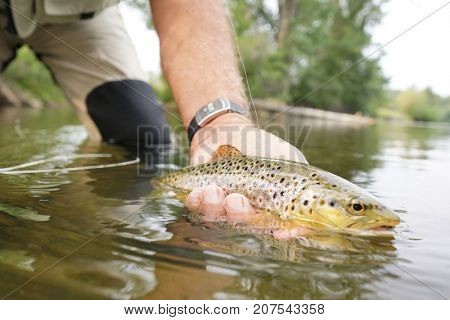 Closeup of brown trout being caught by fly fisherman poster