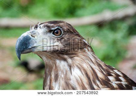 The head of a predatory hawk close-up