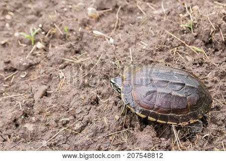 Close up sulcata turtle walking on the ground in the nature
