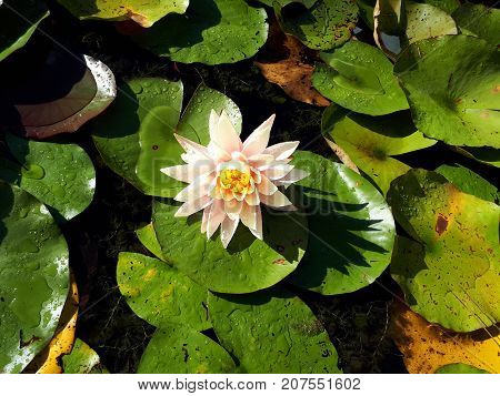 Pink and Yellow Waterlily flower on green leaves on sun