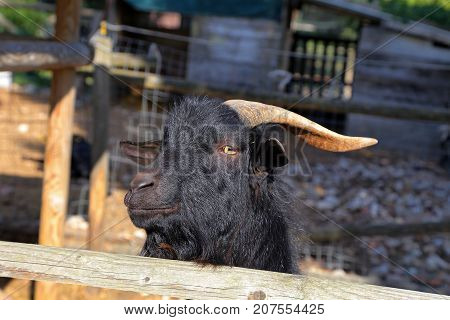 Billy Goat portrait  in the fence - Umbria, Italy