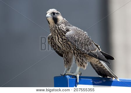 A Juvenile Peregrine Falcon perched on a sign post