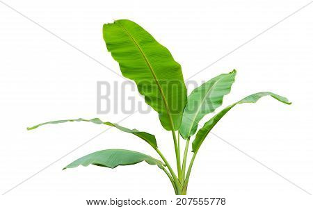 Banana leaf isolated on white background. File contains a clipping path.