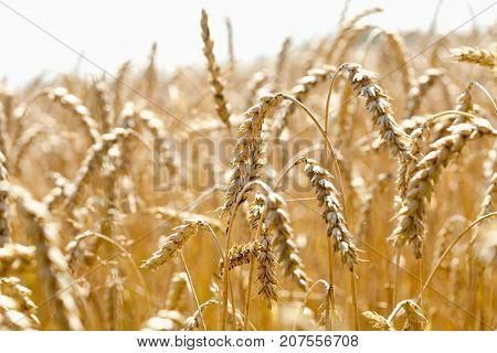 Closeup of Rye in a Field in Bohemia Czech Republic.