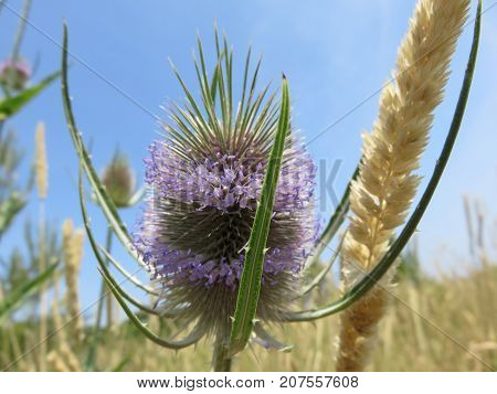 Thistle is bigger and taller than normal with similar shapes but its flowers make it crowns