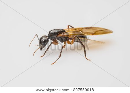 close up flying ant isolated on white background. Winged Carpenter ant