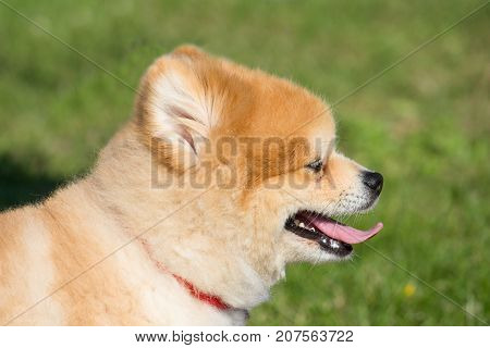 small dwarf spitz dog with a red necklace
