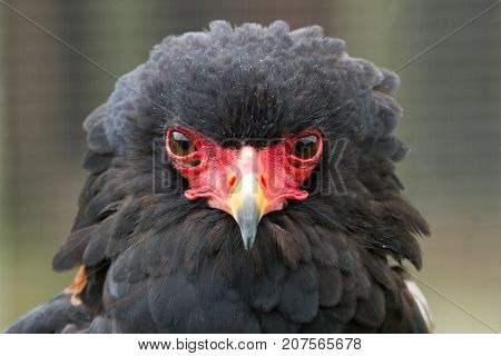 photo portrait of an adult Bateleur eagle