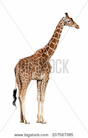 porttrait of Giraffa camelopardalis isolated on white background