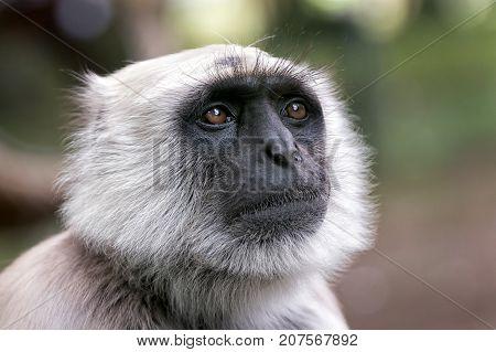 close view of a northern plains gray langur semnopithecus entellus primate