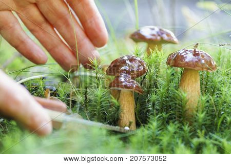 Mushroom Hunting, Gathering Mushrooms In The Wild. Cut The Mushroom With A Special Knife.