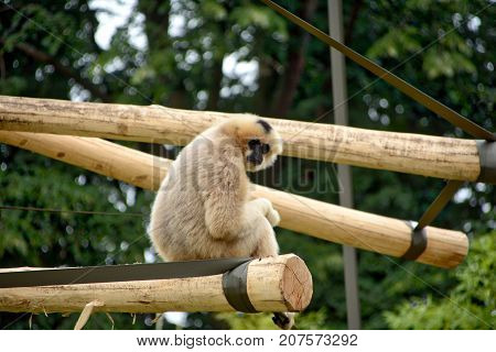 Female gibbon. Picture taken in Planckendael, Belgium.