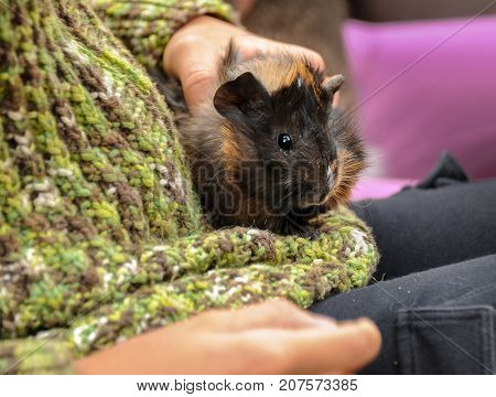 Young Guinea Pig In The Hands Of A Child