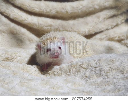 A fancy African pygmy hedgehog, also called baby or fancy hedgehog, of beige or champagne color, on light background. Domesticated, used as a pet. A hedgehog rises its snout and smiles at camera.