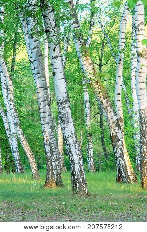 birch grove in the forest in the early morning summer green foliage vertical composition
