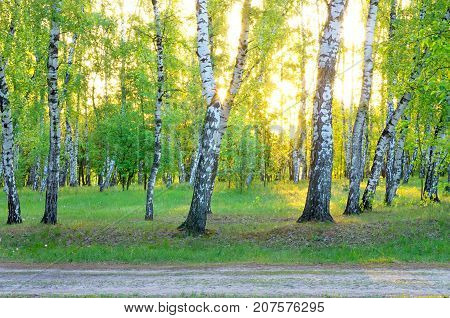birch grove at dawn sunlight a forest road