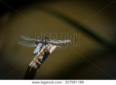 A Broad-bodied Chaser Dragonfly Resting On A Twig
