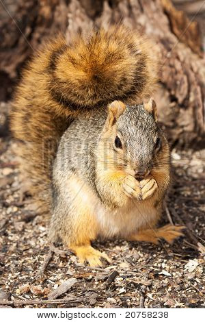 front view of reddish eastern gray squirrel as it eats a sunflower seed; background of shallow focus forest floor and tree stump poster