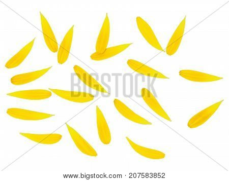 Small yellow-to-orange petals of a flower are scattered about and form an ornamental pattern. The flower petals are isolated, on white background. Can be used as a field or wallpaper background.