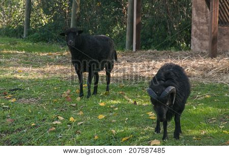 Black sheep and aries in the green meadow