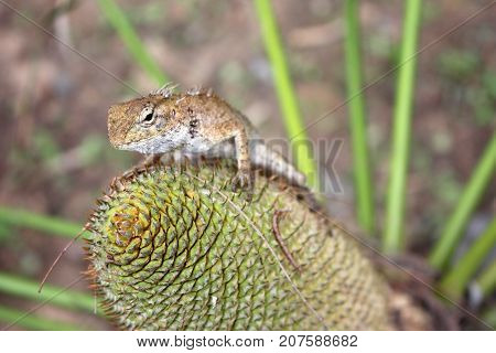 Lizard on the flowers of the Cycas palm tree in the garden
