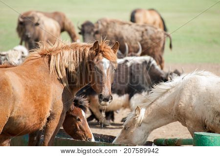 Wild horses drink water from drinkers on the background of the buffalo