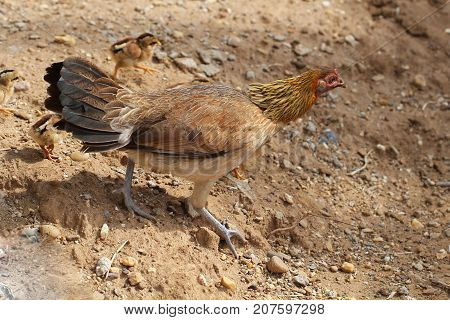 Hen with baby chickens chicks standing/hidding together on a farm, mother chicken protecting teaching baby chicken, finding food for her children, backgrounds, wallpaper