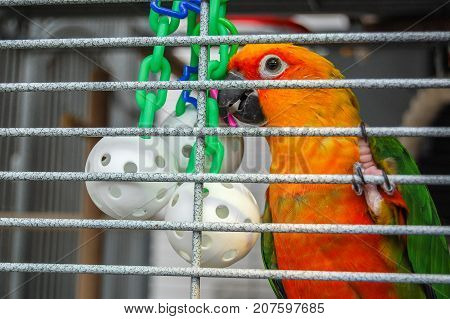 Pretty parrot in cage with wiffle ball toy. A pet Jenday Conure (Jandaya Parakeet) Aratinga jandaya. Bird with bright orange and green feathers native to Brazil and closely related to Sun Conures