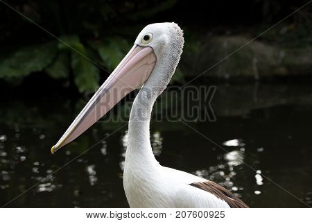 Pelican  close-up in the middle of a pond with a beautiful beak