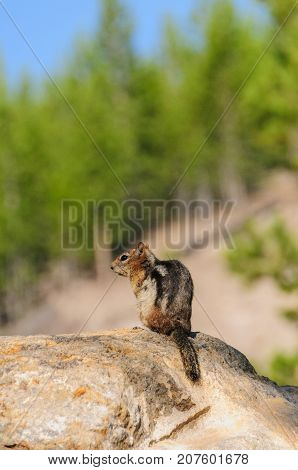 A Golden Mantles Ground Squirrel sitting on a rock in Yellowstone National Park