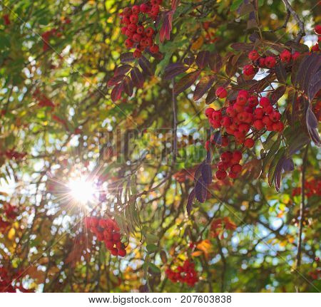 bright Sorbus aucuparia and fall foliage in the sun