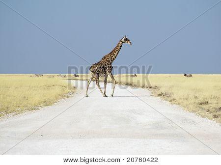 Giraffe walking on road