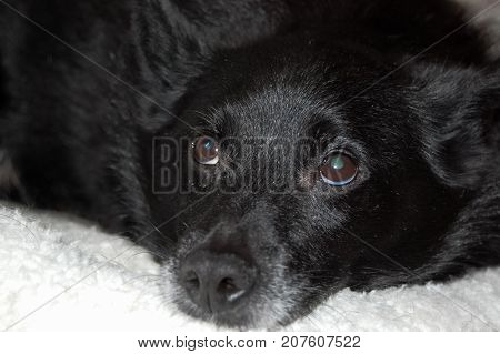 Old Schipperke (Belgian Barge Dog) close up of face while relaxing. Showing greying muzzle and cataracts in eyes. Focus on eyes.
