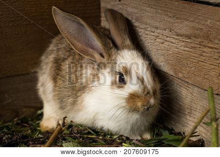 Rabbit. Cute Small Domestic White And Brown Rabbit Sit In Barn On Wooden Background.
