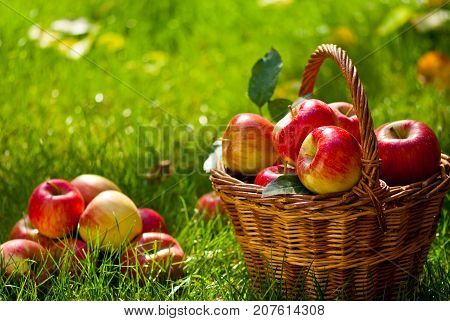 Red Apples with Wicket Basket in the Grass