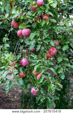 Ripe Apples On The Branches