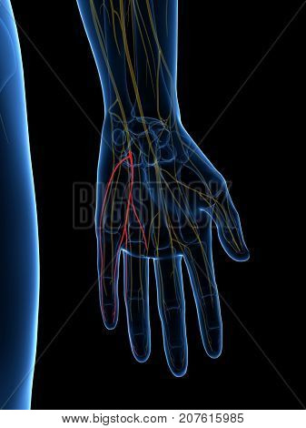 3d rendered medically accurate illustration of the Palmar Branch Ulnar Nerve