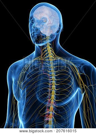 3d rendered medically accurate illustration of the Vagus Nerve