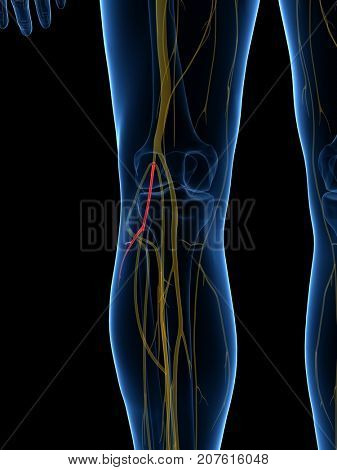 3d rendered medically accurate illustration of the Lateral Sural Cutaneous Nerve