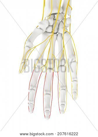 3d rendered medically accurate illustration of the proper palmer digital branches